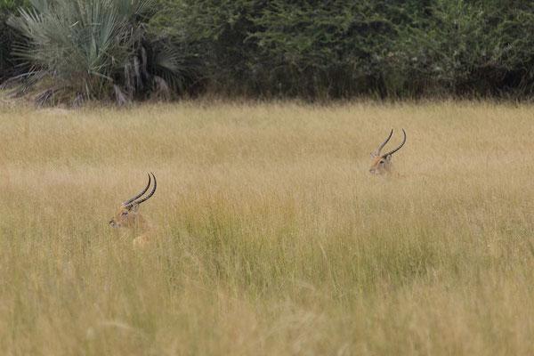 25.4. Mahango Game Reserve, Moorantilope/Letschwe - Kobus leche
