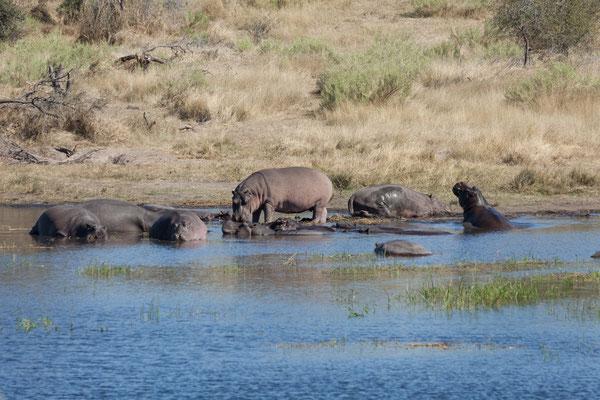 14.05. Makgadikgadi Pans NP, Flusspferde - Hippopotamus amphibius