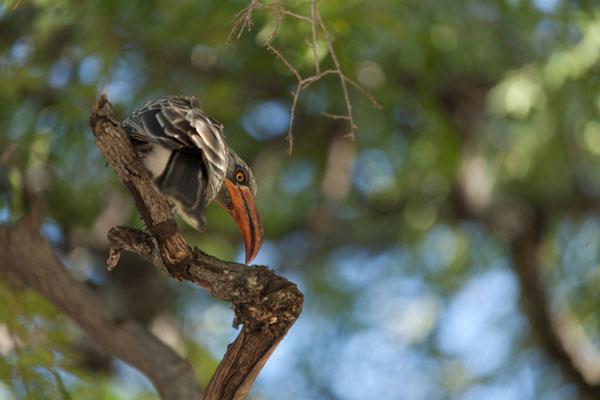 04.05. Chobe NP - Linyanti Campsite; Bradfield's hornbill - Tockus bradfieldi