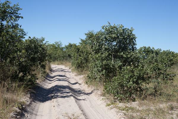 05.05. Chobe NP; über weite Strecken begleitet uns dichter Mopanebusch rechts und links der Piste.