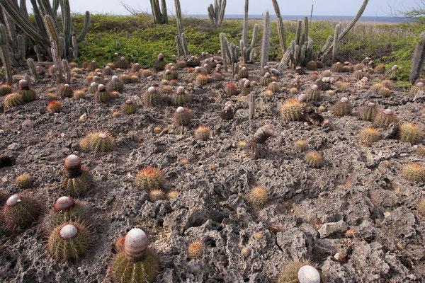An der Ostküste - Melocactus sp.
