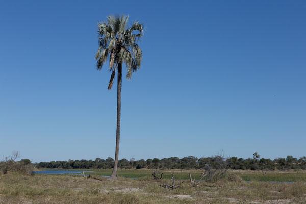 14.05. Makgadikgadi Pans NP, Makalanipalme - Hyphaene petersiana