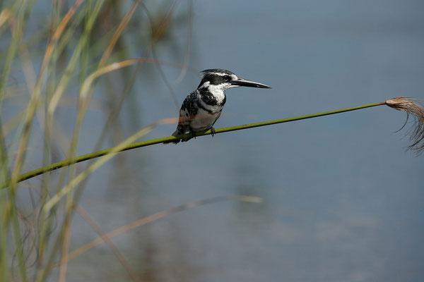 27.4. Mavunje - Bootstour; Pied kingfisher - Ceryle rudis