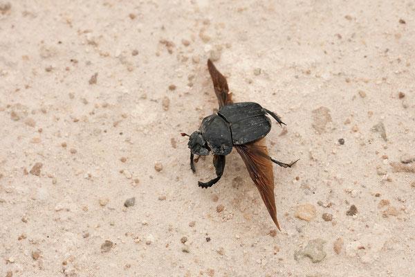 26.2. Etosha -  Dung beetle (Scarabeinae)