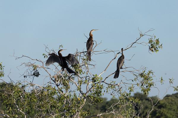 25.4. Bootsfahrt am Kavango, African darter - Anhinga rufa