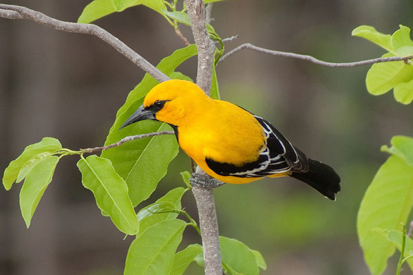 Gotomeer - Icterus nigrogularis, Yellow Oriole