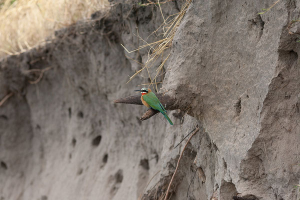 27.4. Mavunje - Bootstour; White-fronted bee-eater - Merops bullockoides