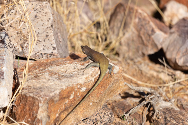12.02. Fish River Canyon, Mabuya sulcata - Western Rock Skink