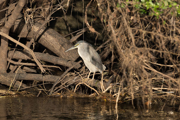 23.4. Bootsfahrt auf dem Kavango: Black-crowned night heron - Nycticorax nycticorax