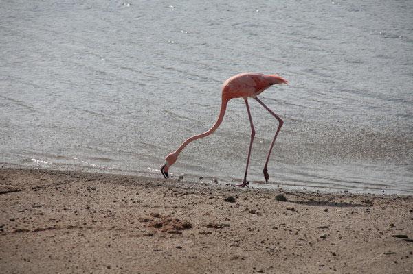 Gotomeer: Flamingo (mit Gelsen)