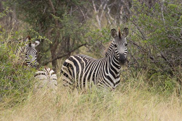 25.4. Mahango Game Reserve, Steppenzebra - Equus burchellii