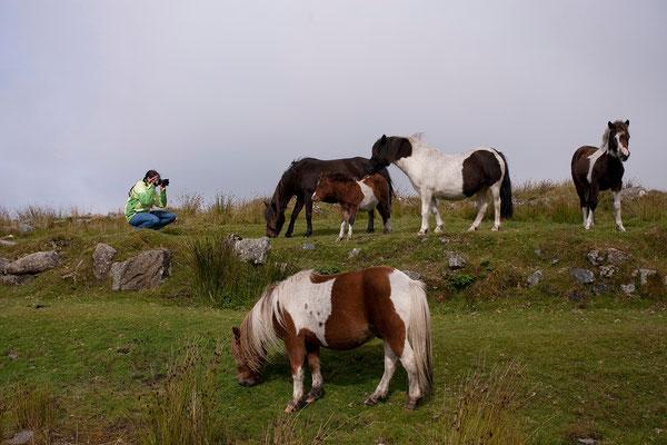 12.09. Dartmoor Ponys