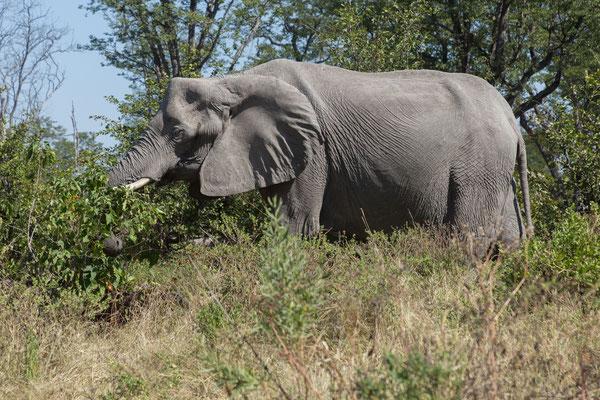 10.05. Moremi GR; Elefant - Loxodonta africana
