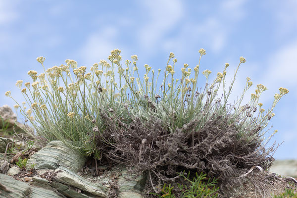 29.05. Barcaggio, Helichrysum italicum - Immortelle