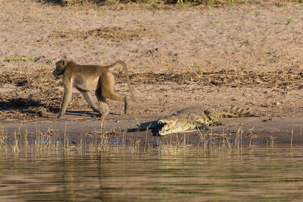 Steppenpavian - Papio cynocephalus ursinus & Nilkrokodil - Crocodylus niloticus