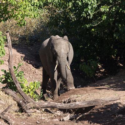 Elefant, entspannt