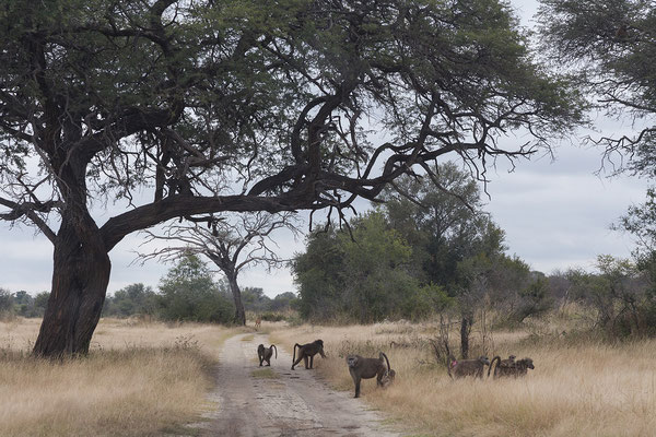 25.4. Mahango Game Reserve, Steppenpaviane - Papio cynocephalus ursinus