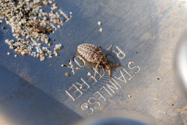 22.5. Camping Europa Beach, Querciolo: unsere Nachbarn, die Ameisenlöwen!