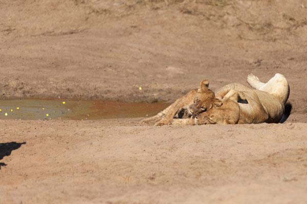 03.05. Chobe NP (Riverfront), die Löwen haben keine Eile