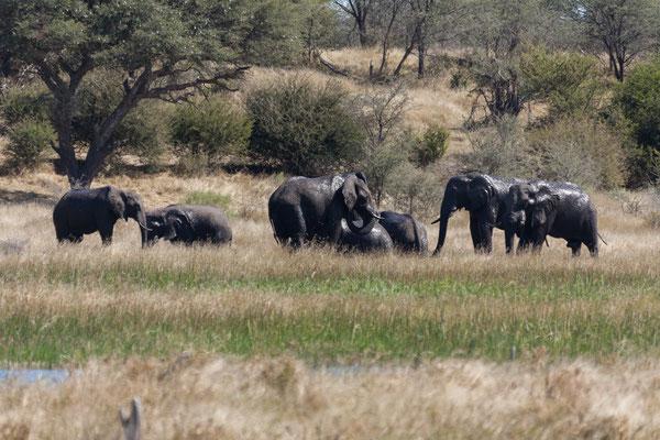 14.05. Makgadikgadi Pans NP, Elefanten (Loxodonta africana) im Boteti