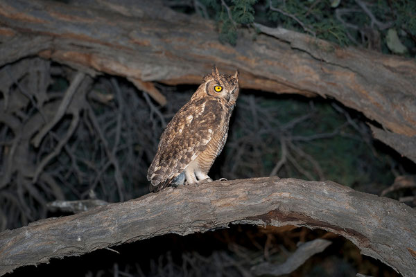 14.2. Farmrundfahrt: Spotted eagle owl (Bubo africanus)