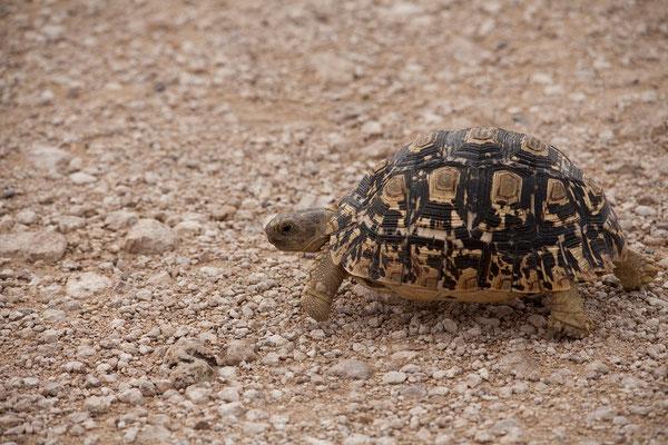 27.2. Etosha - Geochelone pardalis (Leopard tortoise)