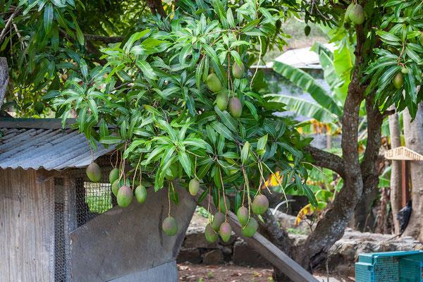 Belmont Estate: Mango