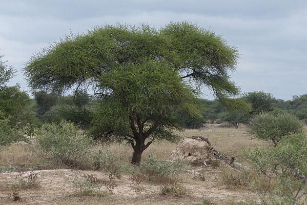 25.4. Mahango Game Reserve, Nilwaran (Varanus niloticus) auf Termitenhügel