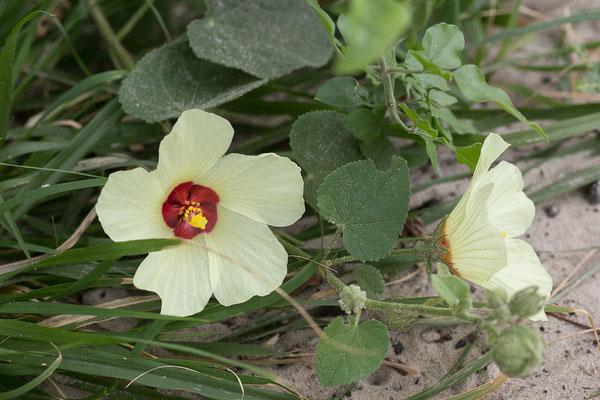 28.4. Mavunje; Wild hibiscus - Hibiscus calyphyllus