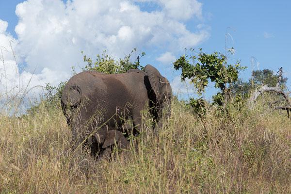 03.05. Chobe NP (Riverfront), Elefanten dürfen natürlich nicht fehlen (Loxodonta africana)