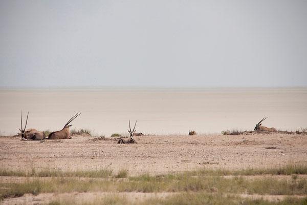26.2. Etosha - Oryx (Oryx gazella)