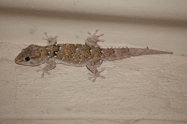 16.2. Bibron's thick-toed gecko (Pachydactylus bibronii)