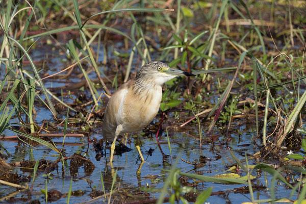 02.05. Bootstour auf dem Chobe, Squacco heron - Ardeola ralloides