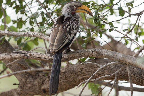 25.4. Mahango Game Reserve, Yellow-billed hornbill - Tockus leucomelas