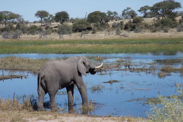 14.05. Makgadikgadi Pans NP, Elefant - Loxodonta africana