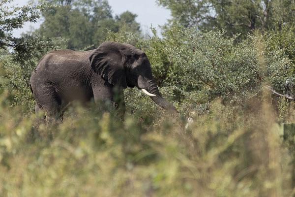 29.4. Bwabwata NP/Kwando Core Area, Elefant - Loxodonta africana