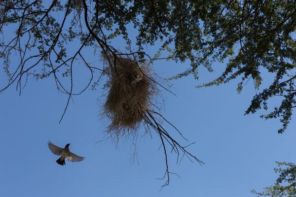 15.05. Rast unter einem Webervogelnest.