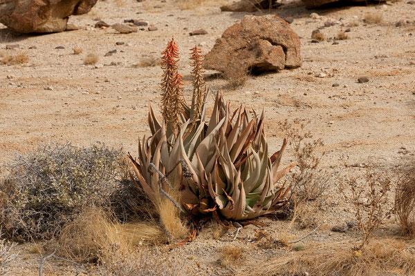 19.2. Rauhblättrige Aloe (Aloe asperifolia)