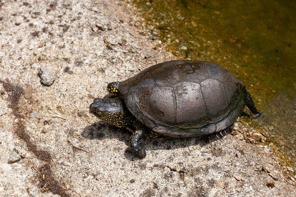 31.5. Wir besuchen den Schildkrötenpark A Cupulatta in der Nähe von Ajaccio.