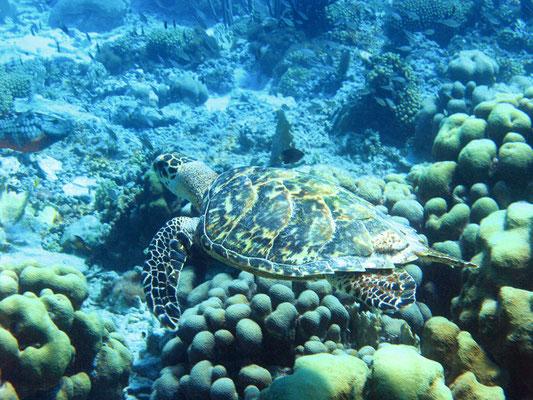 "Der 2. Tauchgang bei ""Andrea II"" bescheert uns eine Meeresschildkröte :-)"