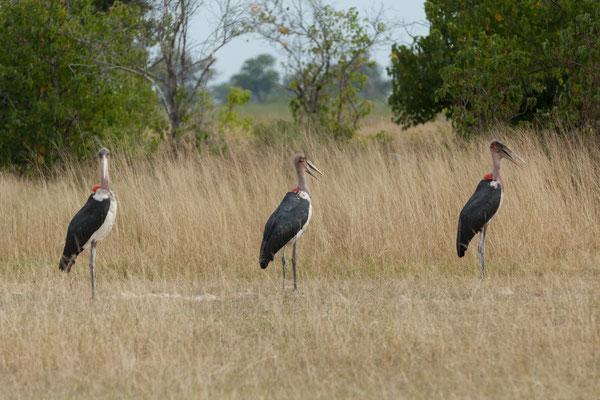 08.05. Moremi GR; Marabou stork - Leptoptilos crumeniferus