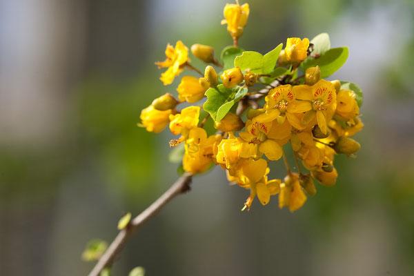 An der Westküste - Haematoxylon brasiletto, Brasilwood