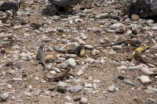 Washington Slaagbai National Park - Cnemidophorus murinus ruthveni, Bonaire whiptail lizard