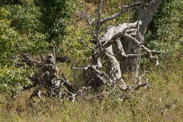 27.4. Mavunje - Bootstour; Steppenpavian - Papiocynocephalus ursinus