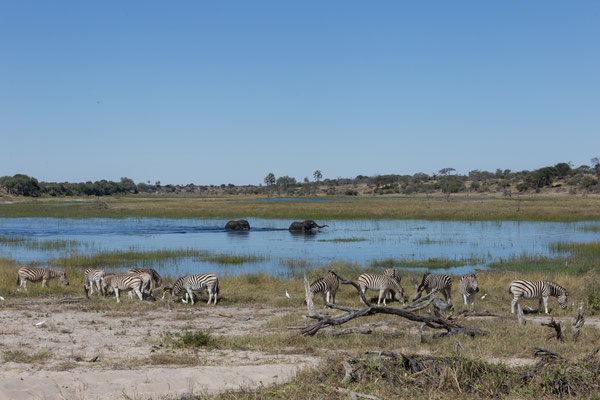 14.05. Makgadikgadi Pans NP, Zebras (Equus quagga) und Elefanten (Loxodonta africana)