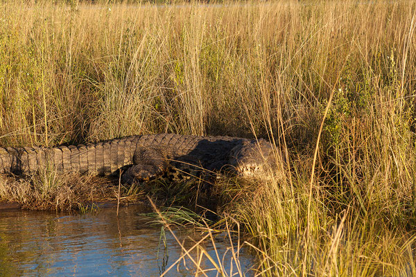 Ein kapitales Nilkrokodil - Crocodylus niloticus