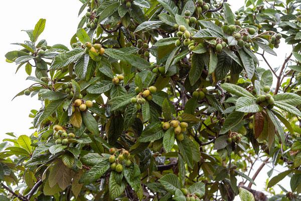 02.04. Auch der Anbau der sog. Nísperos, einer pfirsichähnlichen Frucht, ist typisch für die Gegend.
