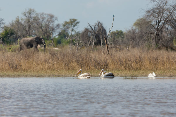 09.05. Moremi GR; Great white pelican - Pelecanus onocrotalus