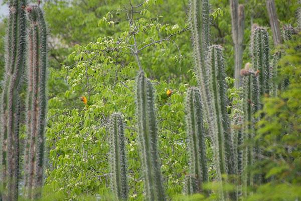 Gotomeer - Aratinga pertinax, Caribbean Parakeet