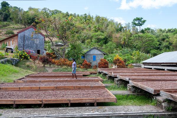 Belmont Estate: Die Kakaobohnen werden beim Trocknen regelmäßig gewendet.